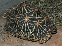 Geochelone elegans - Indian Starred Tortoise