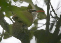 Red-billed Scimitar Babbler - Pomatorhinus ochraceiceps