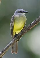 Tropical Kingbird (Tyrannus melancholicus) photo