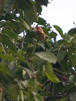 Rose-faced Parrot - Pionopsitta pulchra