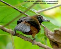 Black-throated Wren - Thryothorus atrogularis