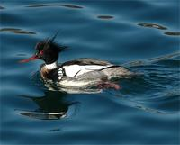 Red-Breasted Merganser, Red-breasted Merganser - (Mergus serrator Linnaeus, 1758