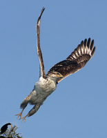 : Buteo regalis; Ferruginous Hawk