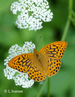 : Argynnis paphia; Silver Washed Fritillary