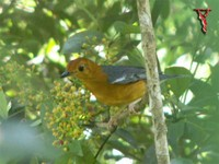 Orange-headed Thrush(Zoothera citrina)