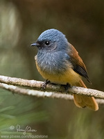 Blue-headed Fantail Rhipidura cyaniceps