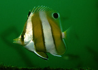 Chaetodon modestus, Brown-banded butterflyfish: fisheries, aquarium