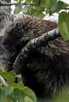 Image of: Erethizon dorsatum (North American porcupine)