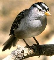 Image of: Zonotrichia leucophrys (white-crowned sparrow)