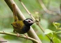 Black-headed Tailorbird - Orthotomus nigriceps