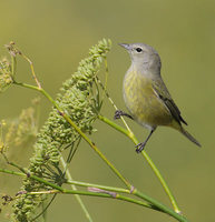 Orange-crowned Warbler (Vermivora celata) photo