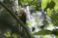 White-throated Woodcreeper - Xiphocolaptes albicollis