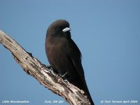 Little Woodswallow - Artamus minor