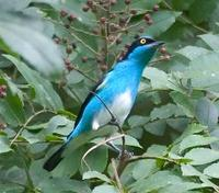 * Black Face Dacnis