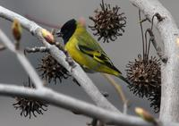 Hooded Siskin: from my office window!