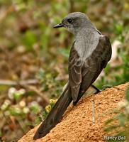 Shear-tailed Gray-Tyrant (??Nancy Bell)