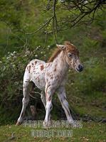 Spotted Shetland Pony Foal , Stoney Cross , New Forest , Hampshire , England stock photo