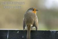 Robin , Redbreast ; Erithacus rubercula , European , garden bird stock photo