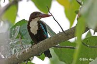 白胸翡翠  	White-throated Kingfisher  	Halcyon smyrnensis
