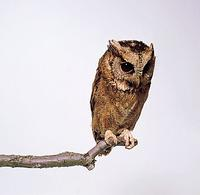 Collared Scops Owl (Otus lettia)