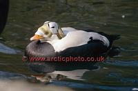 FT0199-00: Spectacled Eider, Somateria fischeri, the male bird on water. Arctic