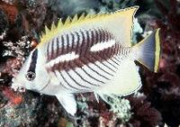 ...butterflyfish, Rightangle butterflyfish, Triangulate butterflyfish, V-lined butterflyfish, Acrop