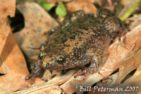 : Gastrophryne carolinensis; Eastern Narrow-mouthed Toad
