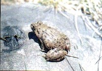 : Limnonectes limnocharis; Cricket Frog