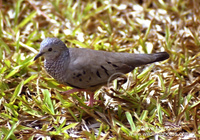 : Columbina passerina; Common Ground Dove