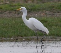 Yellow-billed Egret, Boon Tsagaan Nuur, June 2007.
