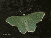 Hemithea aestivaria - Common Emerald