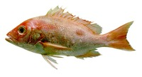 Lutjanus purpureus, Southern red snapper: fisheries