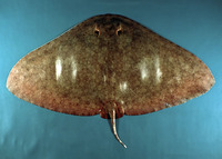 Gymnura altavela, Spiny butterfly ray: fisheries, gamefish