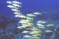 Mulloidichthys vanicolensis, Yellowfin goatfish: fisheries, gamefish