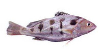 Nibea maculata, Blotched croaker: fisheries