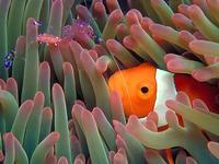 Image of: Heteractis magnifica, Periclimenes, Amphiprion ocellaris (clown anemonefish)