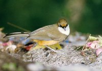 White-throated Laughingthrush - Garrulax albogularis