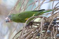 Canary-winged Parakeet - Brotogeris versicolurus