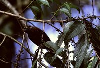 Gray-throated Barbet - Gymnobucco bonapartei
