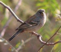 * Bantail Seedeater