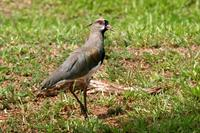 Southern  lapwing   -   Vanellus  chilensis   -   Pavoncella  del  Cile