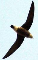 White-throated Needletail in flight.