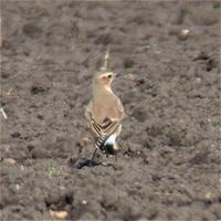 Wheatear at Prior's Fen