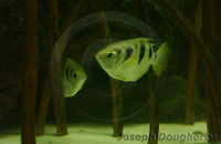 : Toxotes jaculatrix; Archer Fish