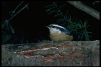 : Sitta canadensis; Red-breasted Nuthatch