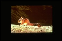 : Tamias merriami; Merriam's Chipmunk