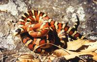 : Lampropeltis pyromelana woodini; Huachuca Mountain Kingsnake