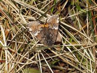Archiearis parthenias - Orange Underwing