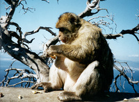 photograph of Barbary macaque : Macaca sylvanus