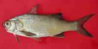 Galeoides decadactylus, Lesser African threadfin: fisheries
